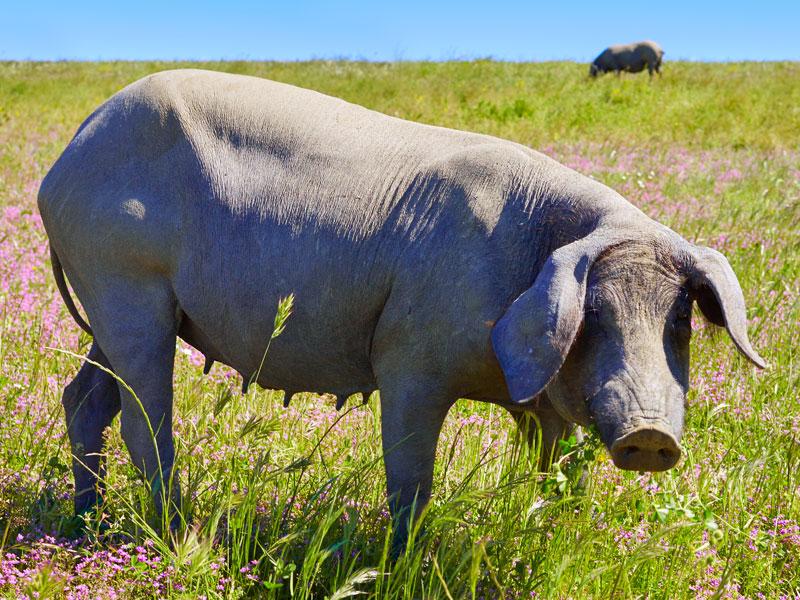 Iberico Schwein